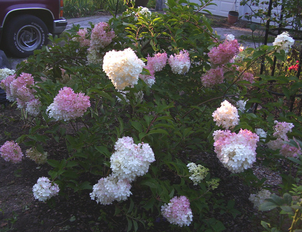 i donu0027t know if it just took three years to mature or what earlier a garden from northern kansas speculated it was just too hot in kansas - Vanilla Strawberry Hydrangea
